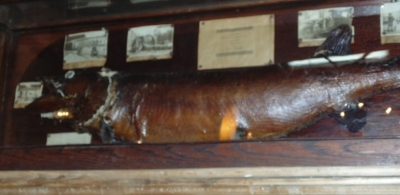 36 83108 FISH MOUNT IN MUSEUM CASE (1).JPG