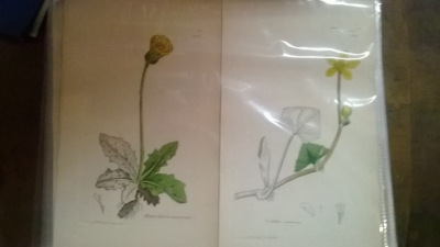 14L03300 EARLY 18TH CENTURY BOTANICAL ENGRAVINGS-HAND COLORED (1).jpg