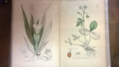 14L03300 EARLY 18TH CENTURY BOTANICAL ENGRAVINGS-HAND COLORED (3).jpg