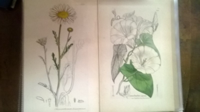 14L03300 EARLY 18TH CENTURY BOTANICAL ENGRAVINGS-HAND COLORED (4).jpg