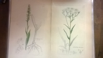 14L03300 EARLY 18TH CENTURY BOTANICAL ENGRAVINGS-HAND COLORED (5).jpg