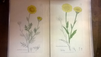 14L03300 EARLY 18TH CENTURY BOTANICAL ENGRAVINGS-HAND COLORED (6).jpg