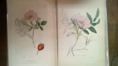 14L03300 EARLY 18TH CENTURY BOTANICAL ENGRAVINGS-HAND COLORED (8).jpg