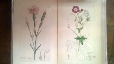 14L03300 EARLY 18TH CENTURY BOTANICAL ENGRAVINGS-HAND COLORED (10).jpg