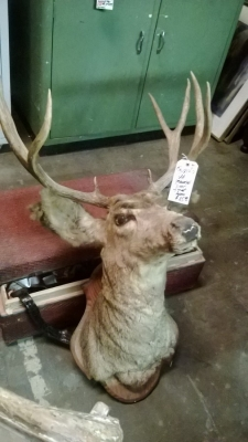 36-85417 OLD DEER MOUNT.jpg
